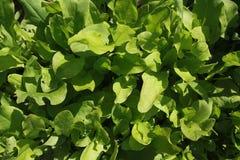 Rumex (sorrel). Green rumex leaves (sorrel or docks royalty free stock image