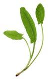 Rumex vegetable Stock Photo