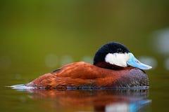 Rumiana kaczka chłodzi na wodzie zdjęcia stock