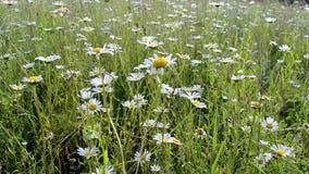Rumianek łąka, lato natury różnorodność, zbiory