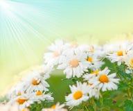 rumianków kwiatu wiosna Zdjęcie Stock