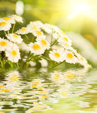 rumianków kwiaty Fotografia Royalty Free