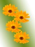 rumianków kwiaty Zdjęcia Stock