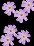 rumianków kwiaty Obrazy Royalty Free