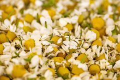 Rumianków kwiaty gotowi dla herbacianego makro- tła wysokiej jakości 50,6 Megapixels obrazy royalty free