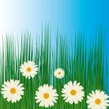 rumianki grass biel Zdjęcie Royalty Free