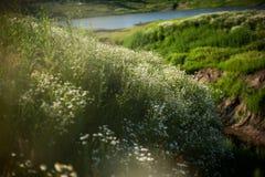 Rumianki i jezioro Obraz Stock