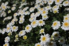 Rumianki na flowerbed Fotografia Royalty Free