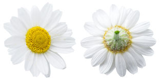 rumianku chamomilla kwitnie matricaria ilustracyjnego wektor Ścinek ścieżki Fotografia Royalty Free