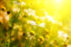 rumianku jaskrawy światło słoneczne Obrazy Royalty Free