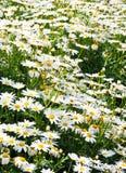rumianku kwiat Obrazy Stock