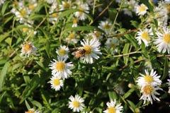 Rumianku kwiat Fotografia Stock