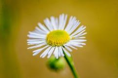 Rumianku kwiat w okwitnięciu Obraz Stock