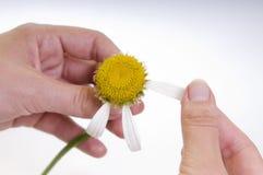 rumianku kwiatu ręki odizolowywać Zdjęcie Stock