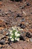 rumianku osamotniony pustynny zdjęcia royalty free
