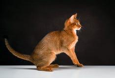 Rumiany abyssinian kot na czarnym brown tle zdjęcie royalty free