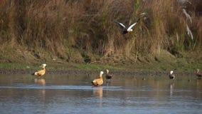 Rumiany Shelduck ptaków Tadorna ferruginea w naturze zbiory