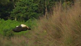 Rumiany Shelduck ptaków Tadorna ferruginea w naturze zbiory wideo