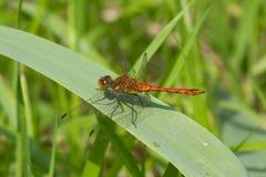 Rumiany Wężowy dragonfly, odpoczywa na liściu w ranku słońcu Zdjęcie Royalty Free