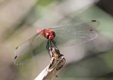 Rumiany Wężowy Dragonfly Sympetrum sanguineum Zdjęcia Royalty Free