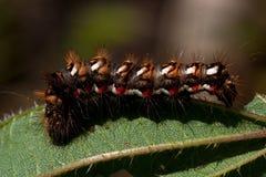 Rumicis d'Acronicta, une mite du Noctuidae de famille, chenille photos libres de droits