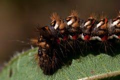 Rumicis d'Acronicta, une mite du Noctuidae de famille, chenille photo stock