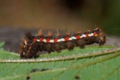Rumicis d'Acronicta, une mite du Noctuidae de famille, chenille image stock