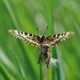 Rumina español de Zerynthia de la mariposa del adorno Fotografía de archivo libre de regalías