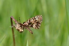 Rumina español de Zerynthia de la mariposa del adorno Foto de archivo libre de regalías