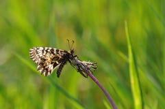 Rumina español de Zerynthia de la mariposa del adorno Imágenes de archivo libres de regalías