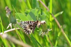 Rumina español de Zerynthia de la mariposa del adorno Fotos de archivo libres de regalías