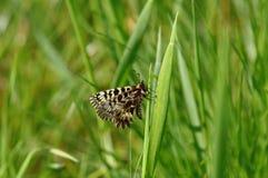 Rumina español de Zerynthia de la mariposa del adorno Foto de archivo