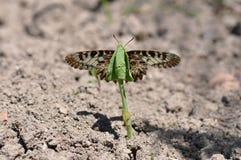 Rumina español de Zerynthia de la mariposa del adorno Imagen de archivo libre de regalías