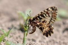 Rumina español de Zerynthia de la mariposa del adorno Fotografía de archivo