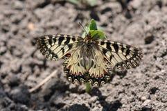 Rumina español de Zerynthia de la mariposa del adorno Fotos de archivo
