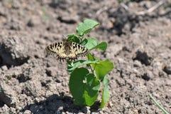 Rumina español de Zerynthia de la mariposa del adorno Imagenes de archivo