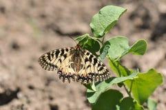 Rumina español de Zerynthia de la mariposa del adorno Imagen de archivo