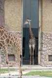 In the room-Giraffa camelopardalis. It is a ruminant cloven hoofed animal in the genus Cervus of giraffe. They are the highest living terrestrial animals in the Royalty Free Stock Photography
