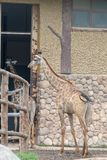In the room-Giraffa camelopardalis. It is a ruminant cloven hoofed animal in the genus Cervus of giraffe. They are the highest living terrestrial animals in the Stock Image