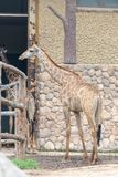 In the room-Giraffa camelopardalis. It is a ruminant cloven hoofed animal in the genus Cervus of giraffe. They are the highest living terrestrial animals in the Stock Photography