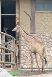In the room-Giraffa camelopardalis. It is a ruminant cloven hoofed animal in the genus Cervus of giraffe. They are the highest living terrestrial animals in the Stock Images