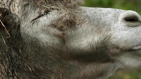Ruminating bactrian camel (Camelus bactrian) stock video footage