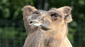 Ruminating bactrian camel (Camelus bactrian) Stock Images
