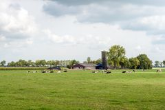 Ruminating black spotted cows in a fresh green Dutch meadow. Dutch agricultural landscape with a barn, stable and tall feed silo in the background and ruminating royalty free stock photo