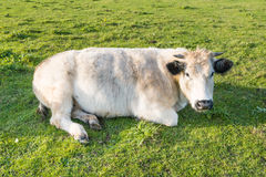 Ruminating cow lying in grass Stock Image