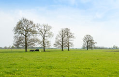 Ruminating cows lying together under the trees Stock Photos