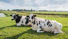 Ruminating cows Stock Photography
