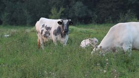 Ruminating and grazing cows stock video footage