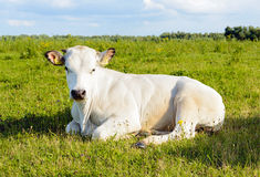 Ruminating white cow lying in the grass Royalty Free Stock Photography