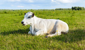 Ruminating white cow lying in the grass Royalty Free Stock Photos